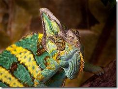 400px-Veiled_Chameleon