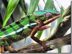 panther-chameleon-1_1