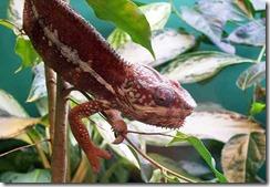 panther-chameleon-3_1